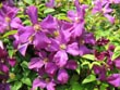 clematis - powerpoint graphics