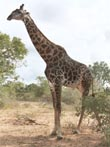 giraffe on safari - powerpoint graphics
