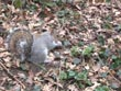 grey squirrel - powerpoint graphics