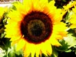 sunflower - powerpoint graphics