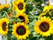 sunflowers - powerpoint graphics