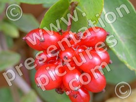 wild berries - powerpoint graphics